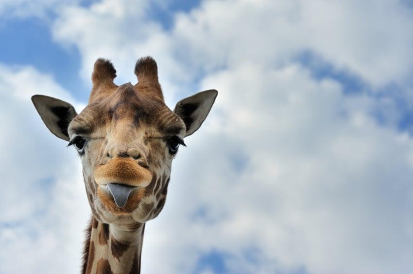 Giraffe-employee-recognition
